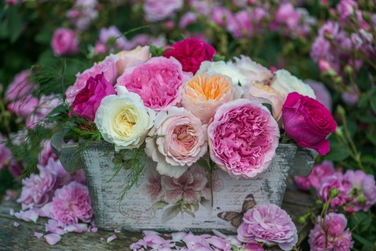 wpid15450-David-Austin-and-His-Roses-GDAV062-nicola-stocken.jpg