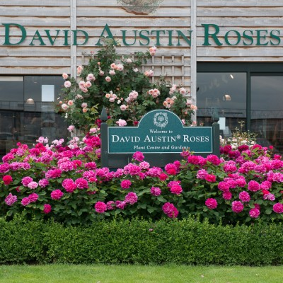 wpid15452-David-Austin-and-His-Roses-GDAV072-nicola-stocken.jpg