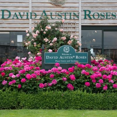 wpid15452-David-Austin-and-His-Roses-GDAV072-nicola-stocken.jpg