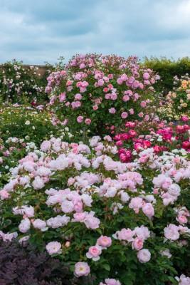 wpid15460-David-Austin-and-His-Roses-GDAV080-nicola-stocken.jpg