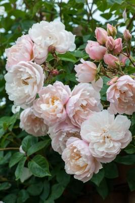 wpid15462-David-Austin-and-His-Roses-GDAV094-nicola-stocken.jpg