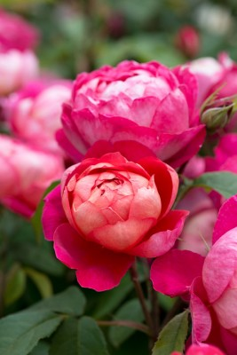 wpid15464-David-Austin-and-His-Roses-GDAV095-nicola-stocken.jpg