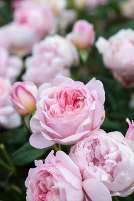 wpid15466-David-Austin-and-His-Roses-GDAV096-nicola-stocken.jpg