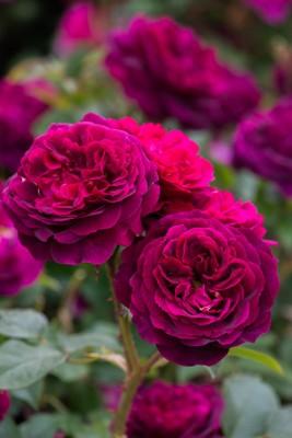 wpid15468-David-Austin-and-His-Roses-GDAV098-nicola-stocken.jpg