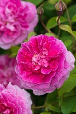 wpid15470-David-Austin-and-His-Roses-GDAV149-nicola-stocken.jpg