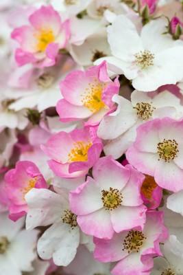 wpid15472-David-Austin-and-His-Roses-GDAV173-nicola-stocken.jpg
