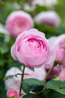 wpid15480-David-Austin-and-His-Roses-GDAV200-nicola-stocken.jpg