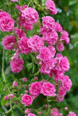 wpid15482-David-Austin-and-His-Roses-GDAV202-nicola-stocken.jpg