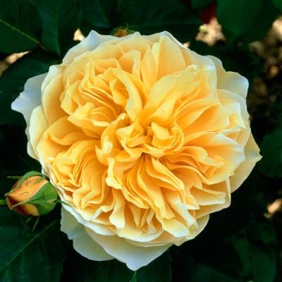 wpid15484-David-Austin-and-His-Roses-ROSE168-nicola-stocken.jpg