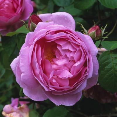 wpid15486-David-Austin-and-His-Roses-ROSE306-nicola-stocken.jpg