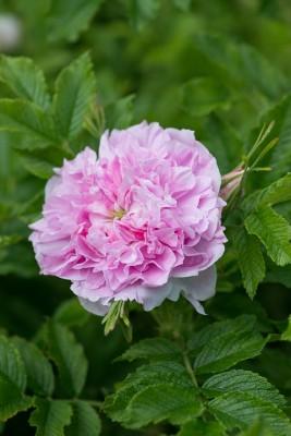 wpid15488-David-Austin-and-His-Roses-ROSE417-nicola-stocken.jpg
