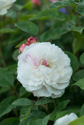 wpid15490-David-Austin-and-His-Roses-ROSE420-nicola-stocken.jpg