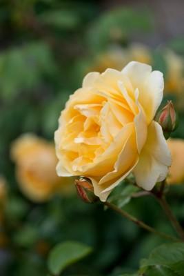 wpid15494-David-Austin-and-His-Roses-ROSE423-nicola-stocken.jpg