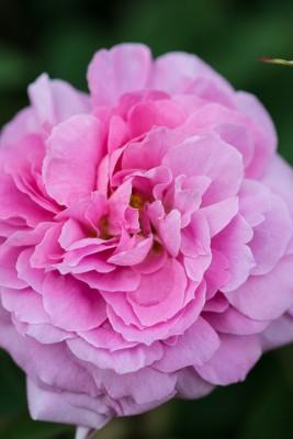 wpid15496-David-Austin-and-His-Roses-ROSE430-nicola-stocken.jpg