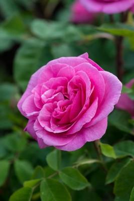wpid15498-David-Austin-and-His-Roses-ROSE435-nicola-stocken.jpg