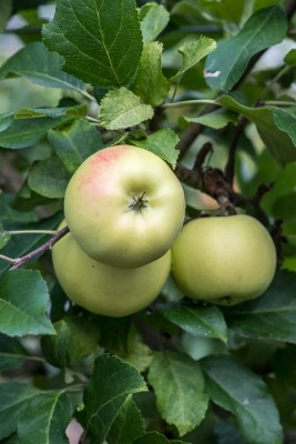 wpid15651-An-Apple-A-Day-TAPP030-nicola-stocken.jpg