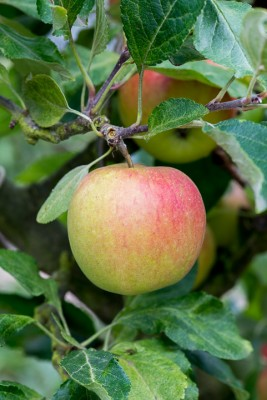 wpid15653-An-Apple-A-Day-TAPP031-nicola-stocken.jpg