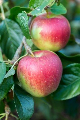 wpid15685-An-Apple-A-Day-TAPP056-nicola-stocken.jpg