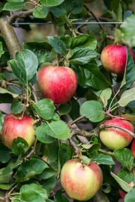 wpid15691-An-Apple-A-Day-TAPP059-nicola-stocken.jpg