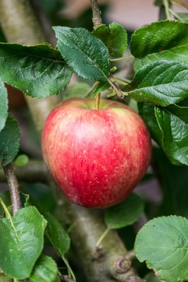 wpid15693-An-Apple-A-Day-TAPP060-nicola-stocken.jpg