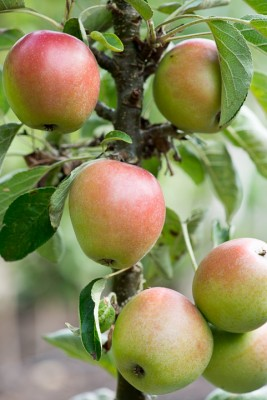 wpid15695-An-Apple-A-Day-TAPP061-nicola-stocken.jpg