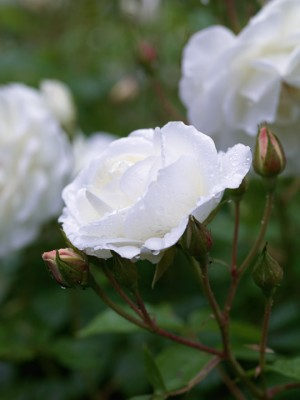 wpid15877-A-Town-Garden-in-June-ROSE338-nicola-stocken.jpg