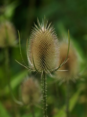 wpid16043-Seedheads-for-Winter-Interest-PDIP001-nicola-stocken.jpg