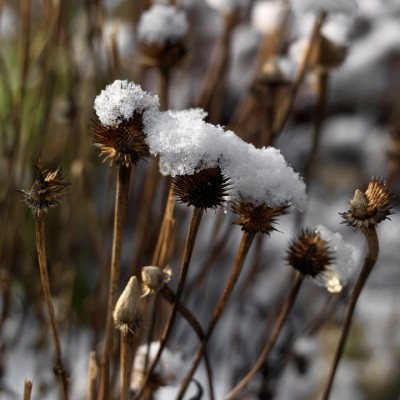 wpid16049-Seedheads-for-Winter-Interest-PECH076-nicola-stocken.jpg