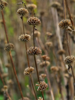 wpid16053-Seedheads-for-Winter-Interest-PPHL022-nicola-stocken.jpg