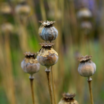 wpid16077-Seedheads-for-Winter-Interest-XPAP033-nicola-stocken.jpg