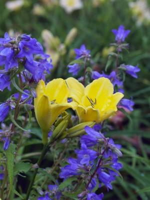 wpid16225-Daylily-Plant-Profile-in-July-GMYN022-nicola-stocken.jpg