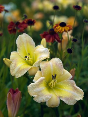 wpid16227-Daylily-Plant-Profile-in-July-GMYN023-nicola-stocken.jpg