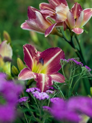 wpid16235-Daylily-Plant-Profile-in-July-GMYN027-nicola-stocken.jpg