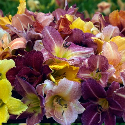wpid16237-Daylily-Plant-Profile-in-July-GMYN030-nicola-stocken.jpg