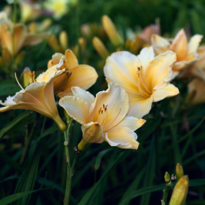 wpid16245-Daylily-Plant-Profile-in-July-PHEM044-nicola-stocken.jpg