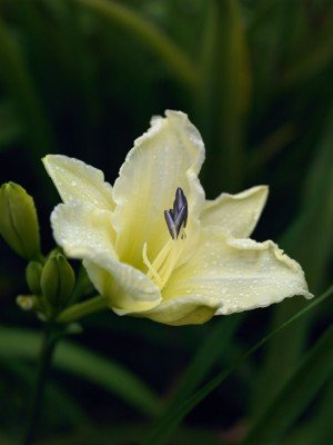 wpid16263-Daylily-Plant-Profile-in-July-PHEM055-nicola-stocken.jpg