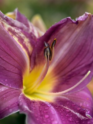 wpid16271-Daylily-Plant-Profile-in-July-PHEM060-nicola-stocken.jpg