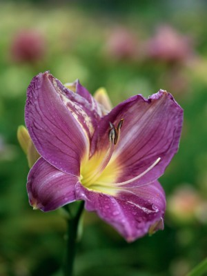 wpid16273-Daylily-Plant-Profile-in-July-PHEM061-nicola-stocken.jpg