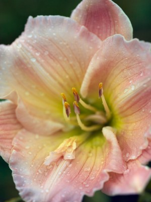 wpid16277-Daylily-Plant-Profile-in-July-PHEM064-nicola-stocken.jpg