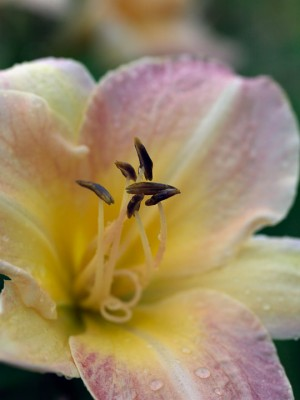 wpid16283-Daylily-Plant-Profile-in-July-PHEM068-nicola-stocken.jpg