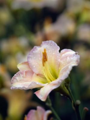 wpid16289-Daylily-Plant-Profile-in-July-PHEM071-nicola-stocken.jpg