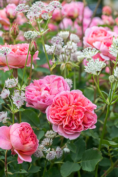 Thumbnail image for Combining Roses with June Perennials