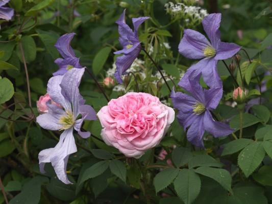 wpid16399-Combining-Roses-with-June-Perennials-FCOM055-nicola-stocken.jpg