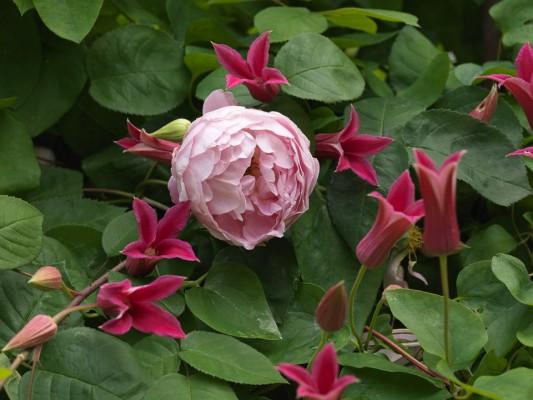 wpid16401-Combining-Roses-with-June-Perennials-FCOM056-nicola-stocken.jpg