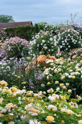 wpid16405-Combining-Roses-with-June-Perennials-GDAV083-nicola-stocken.jpg