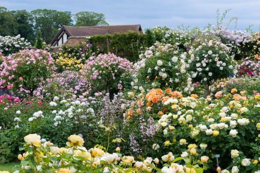 wpid16407-Combining-Roses-with-June-Perennials-GDAV084-nicola-stocken.jpg