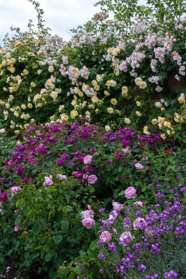 wpid16409-Combining-Roses-with-June-Perennials-GDAV086-nicola-stocken.jpg
