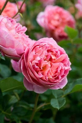 wpid16415-Combining-Roses-with-June-Perennials-GDAV104-nicola-stocken.jpg