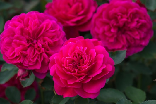wpid16417-Combining-Roses-with-June-Perennials-GDAV110-nicola-stocken.jpg