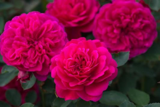 wpid16417-Combining-Roses-with-June-Perennials-GDAV110-nicola-stocken.jpg